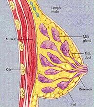 breastanatomy2